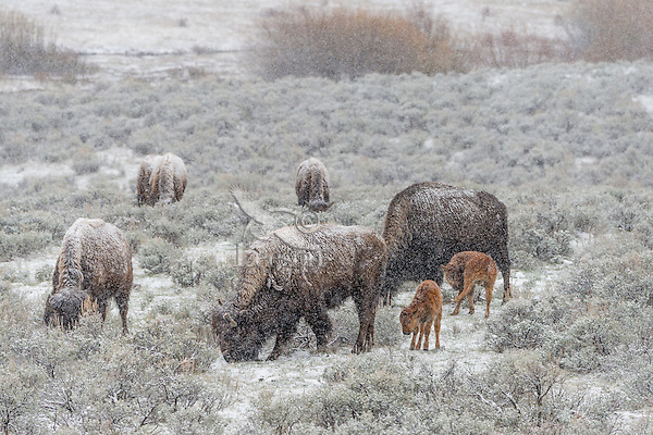 American Bison (Bison bison) cows with young calves in early spring snowstorm, Western U.S..