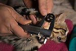 Black-footed Cat (Felis nigripes) biologist, Alex Sliwa, measuring paw length of male during collaring, Benfontein Nature Reserve, South Africa