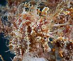 Frilled Seahorse, Hippocampus erectus, Red and blue seahorse with white and beige lace, Underwater Marine life Behavior, Blue Heron Bridge, Lake Worth Inlet, Riviera, Florida, USA, Intra Coastal Waterway, North Atlantic Ocean.1-29-12-823