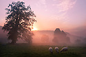 Sunrise over fields near Cromford, with sheep in foreground, Derbyshire Dales, UK. September.