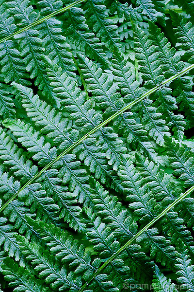 Close- of fern leaves
