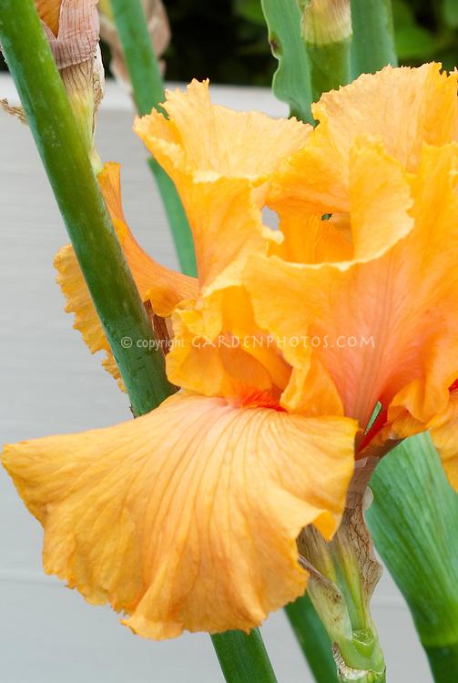 Iris 'Orange Harvest' orange, bearded germanica type flower with orange beard
