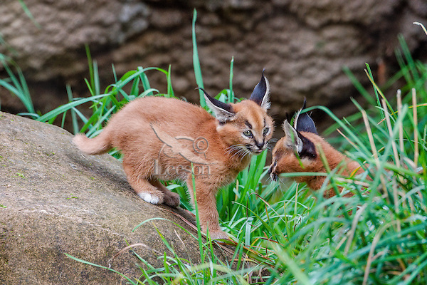 """Caracal Kittens (Caracal caracal)--these cubs are about 6 weeks old.  The word """"Caracal"""" comes from the Turkish word """"karakulak"""" which means """"black ear.""""  Found in Africa through Central Asia and India."""