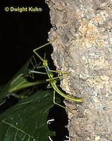OR07-566z  Walking Stick Insect Juvenile, Ctenomorphodes briareus