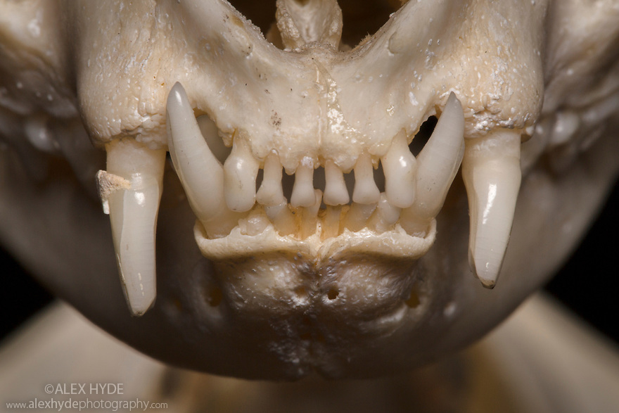 Skull of a dometic cat (Felis catus) showing teeth. website