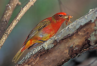 Summer Tanager, Piranga rubra,immature male with wasp prey, South Padre Island, Texas, USA, May 2005