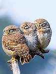 Trio of sleeping owls by Ameya Marathe