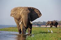 African Elephant bull feeding along edge of Zambezi River. (Loxodonta Africana) Africa