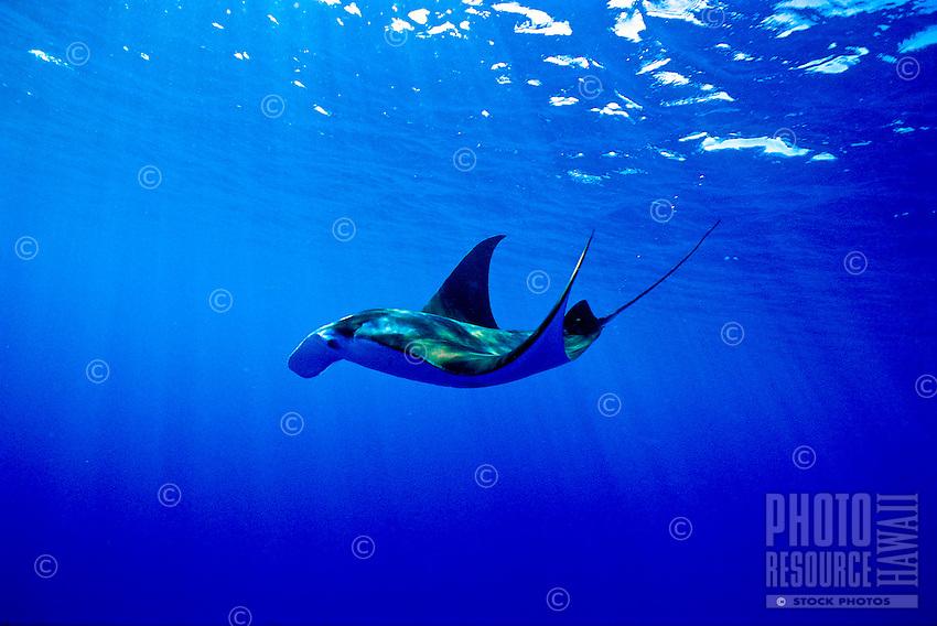 Manta Ray, Hawaiian Waters