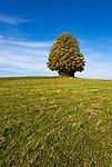 DEU, Deutschland, Bayern, Niederbayern, Naturpark Bayerischer Wald, Ahorn | DEU, Germany, Bavaria, Lower-Bavaria, Nature Park Bavarian Forest, maple
