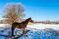 Pferd im Schnee bei Göttin, Insel Töplitz, Werder/Havel, Potsdam-Mittelmark, Havelland, Brandenburg, Deutschland