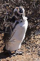 Magellanic Penguins (spheniscus magellanicus) change their feathers in Punta Tombo Patagonia Argentina