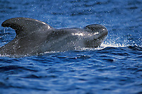short-finned pilot whale, Globicephala macrorhynchus, Azores Islands, Portugal, North Atlantic
