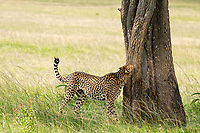 A Cheetah, Acinonyx jubatus jubatus, sniffs a tree before marking its territory in Maasai Mara National Reserve, Kenya
