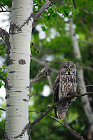 Adult Great Gray Owl (Strix nebulosa). This species is dimensionally North America's largest owl but is not as heavy or as fierce of a predator as the Great Horned or Snowy Owl. It feed almost entirely on voles and pocket gophers. Alberta, Canada. June.