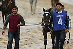 HOT SPRINGS, AR - MARCH 12: The morning line favorite Nickname (4) approaching the paddock area before the running of the Honeybee Stakes at Oaklawn Park on March 12, 2016 in Hot Springs, Arkansas. (Photo by Justin Manning)