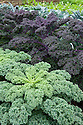 (front to back) Green curly kale, 'Redbor' kale, and 'Black Tuscany' kale (Cavolo Nero).