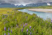 Lupin wildflower meadow along a river draining out of the Aleutian mountain range, Katmai National Park, Alaska Peninsula, southwest Alaska.
