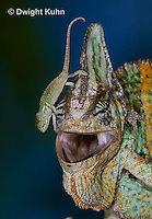 CH49-536z  Veiled Chameleon juvenile climbing on male, Chamaeleo calyptratus