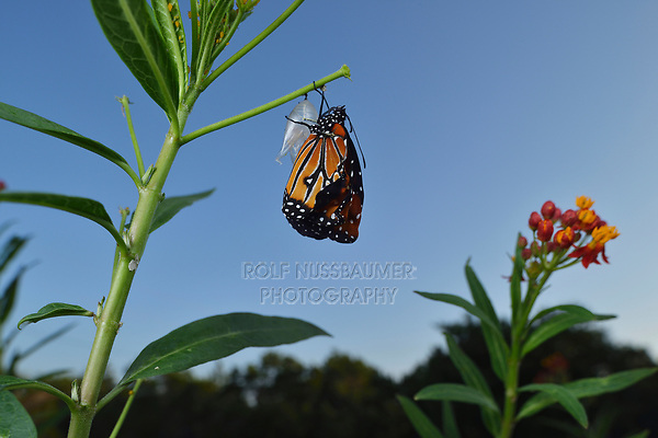 Queen (Danaus gilippus), butterfly expanding wings after  emerging from chrysalis on Tropical Milkweed (Asclepias curassavica), series, Hill Country, Central Texas, USA