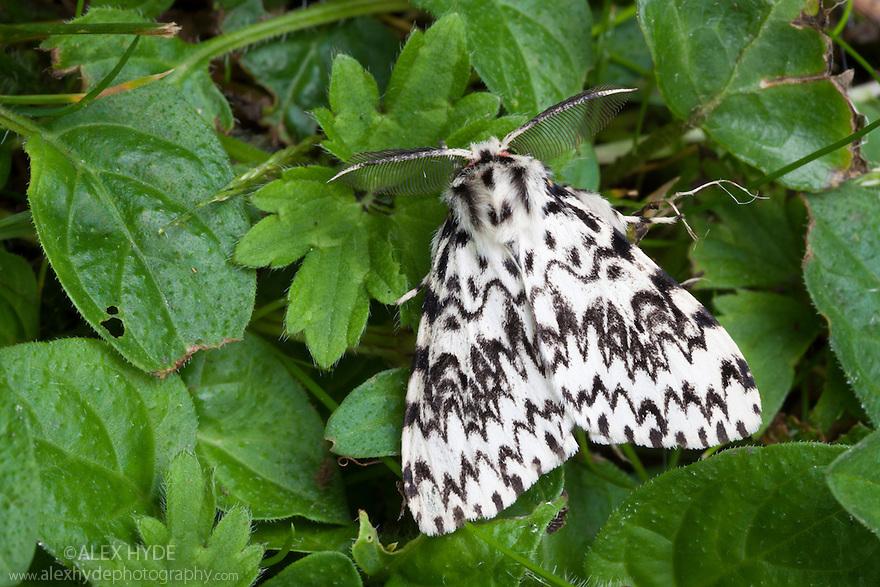 Black Arches moth {Lymantria monacha} male, Surrey, UK. August.