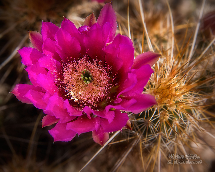 Hedgehog Cactus, Cave Creek Canyon, Arizona