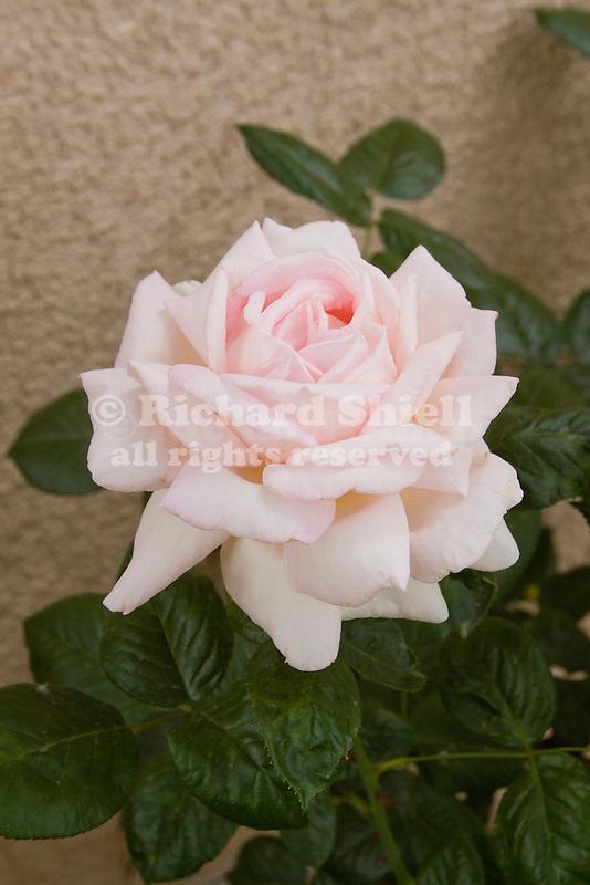 ROSA 'MYRIAM', HYBRID TEA ROSE, BAKERSFIELD