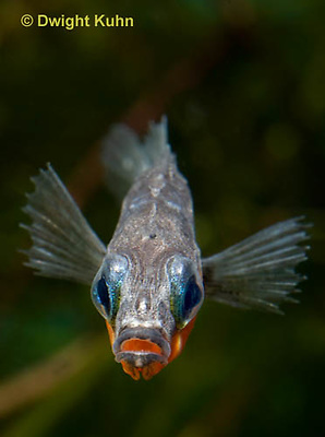 1S14-608z  Male Threespine Stickleback, Mating colors showing bright red belly and blue eyes, close-up of face, Gasterosteus aculeatus,  Hotel Lake British Columbia