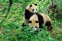 Two young Giant Pandas (Ailuropoda melanoleuca) play, Wolong Nature Reserve in the Qionglai Mountains, Sichuan Province of central China.