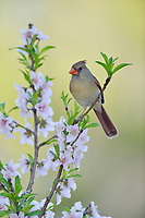 Northern Cardinal ( Cardinalis cardinalis), adult female perched on blooming Peach tree (Prunus persica), Hill Country, Central Texas, USA