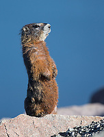 A yellow-bellied marmot stands at attention near the shores of Yellowstone Lake.