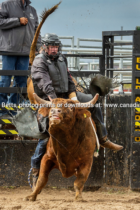 Buck Out, Orangeville<br /> Oct'03, 2020 Photo ©2019, Norm Betts, photographer<br /> 416 460 8743 normbettsphotog@gmail.com<br /> prints or downloads at:<br /> www.canadianphotographer.photoshelter.com<br /> normbettsphotog@gmail.com