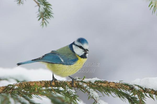 Blue Tit, Parus caeruleus, adult on sprouse branch with snow, Oberaegeri, Switzerland, Dezember 2005
