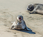 A baby elephant seal barks on the beach at the Piedras Blancas elephant seal rookery on Highway 1 in Big Sur