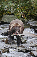 A photo of a grizzly with a salmon in its mouth walking over rocks in a river. Grizzly Bear or brown bear alaska Alaska Brown bears also known as Costal Grizzlies or grizzly bears Grizzly Bear Photos, Alaska Brown Bear with cubs. Purchase grizzly bear fine art limited edition prints here Grizzly Bear Photo Bear Photos,