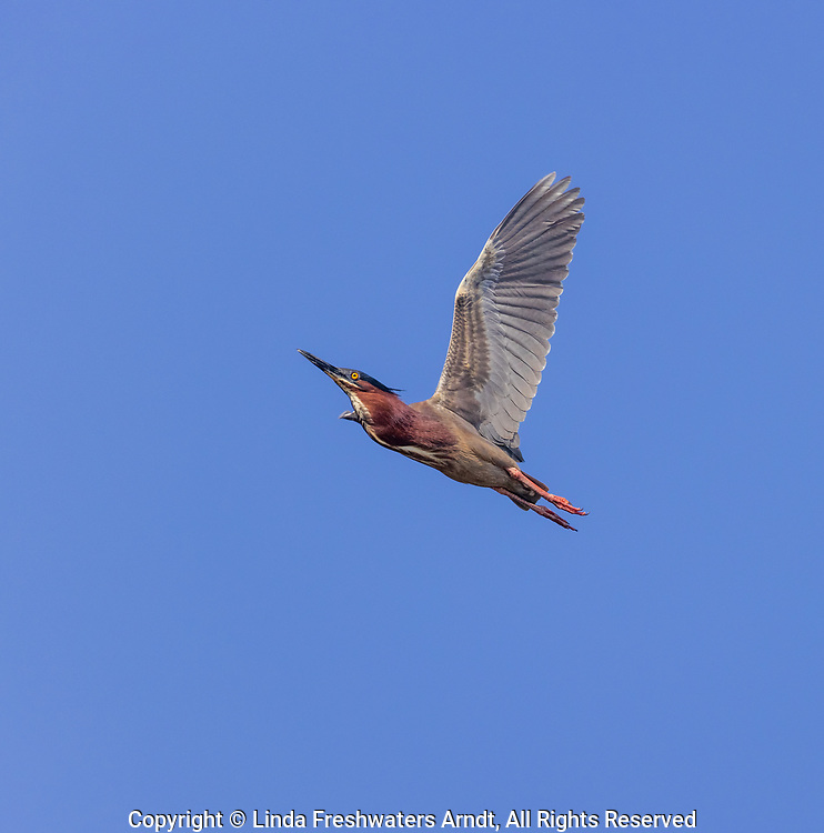 Green heron flying over a wetland in northern Wisconsin.