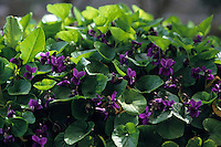 Fiori. Flowers. Violette. Violets.....