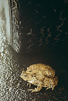 Erdkröte, bei der Wanderung zum Laichgewässer, Krötenwanderung, Gefahr durch Auto, Straße, Straßenverkehr, Autoverkehr, Paarung, Kopulation, Kopula, Erd-Kröte, Kröte, Bufo bufo, European common toad