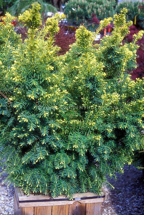 Taxus cuspida Dwarf Bright Gold in container
