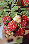 10994-CQ Heritage Raspberry, Rubus `Heritage', ripening fruit, at Mourning Cloak Ranch, Tehachapi, CA USA