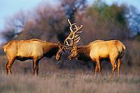 ME1015  Tule Elk bulls sparring (Cervus elephus nannodes) San Luis NWR, CA.  Winter.