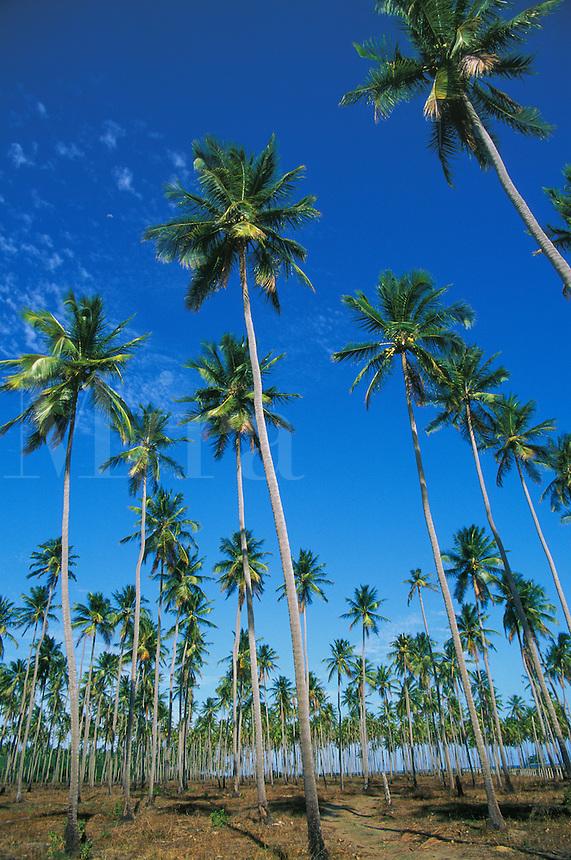 Coconut plantation between Sao Miguel dos Milagres e Barra do Camaragibe, Alagoas, Brazi