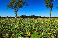 4th September 2020; Millau to Lavaur, France. Tour de France cycling tour, stage 7;  Peleton crosses a field of sunflowers