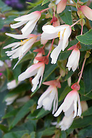 Begonia (Million Kisses) 'Elegance' AGM in pink and white flowers
