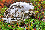 Wolverine skull