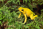 Golden poison arrow frog,  Colombia