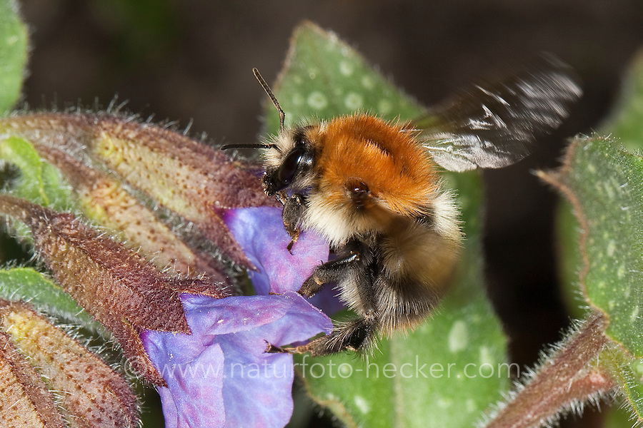 Ackerhummel, Acker-Hummel, Acker - Hummel, Bombus pascuorum, syn. Bombus agrorum, Megabombus pascuorum floralis, Blütenbesuch an Lungenkraut, Nektarsuche, Bestäubung, common carder bee