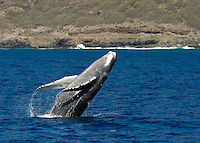 A humpback whale breaching off the coast of Waianae, O'ahu.
