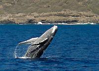 A humpback whale breaching off the coast of Waianae, O'ahu.