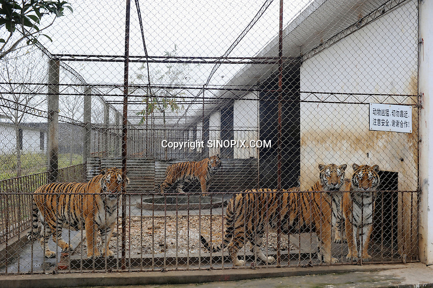 Rows of tigers in cages at the Xiongshen Tiger and Bear Park in Guilin China. The park has farmed 1500 tigers and sells an illegal tiger bone wine to tourists that visit the park.